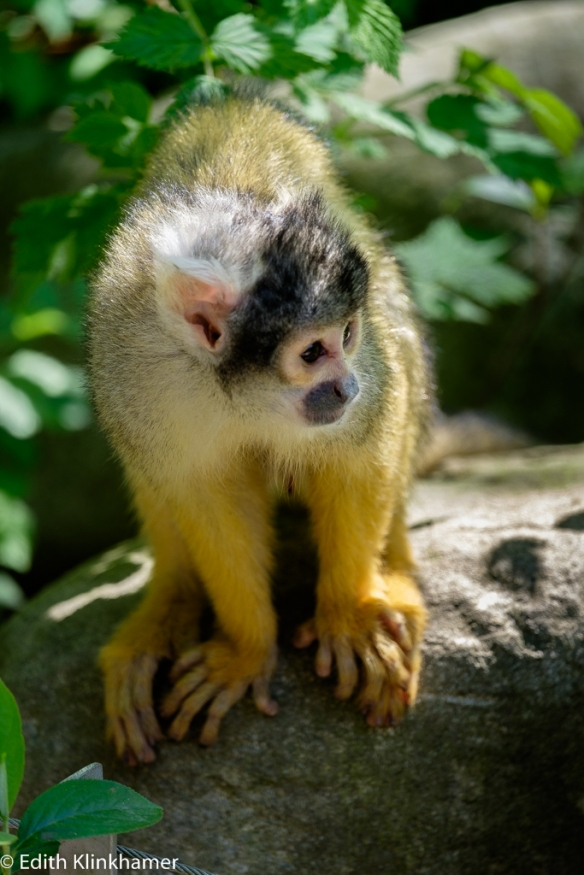 doodshoofdaap squirrel monkey