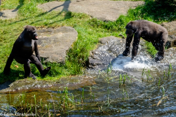 jone gorilla's aan het spelen/ young gorilla's playing in the water