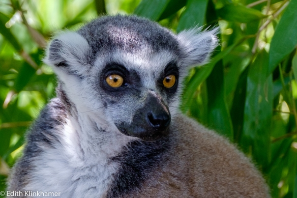 Ringstaartmaki ring-tailed lemur